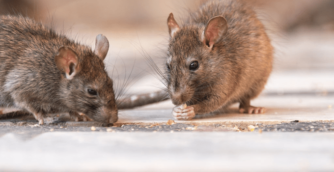 What do Rats Eat? The Feeding Habit of Rats