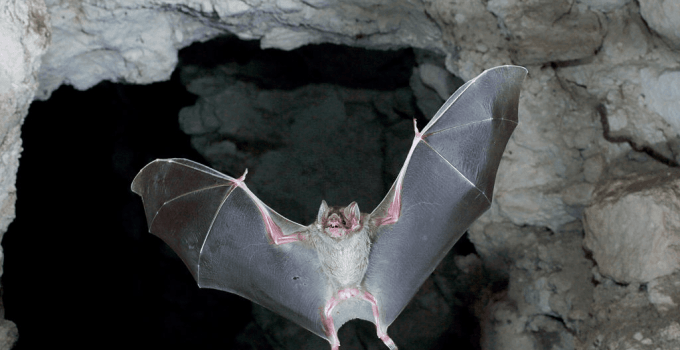 Do Bats Hibernate? A Detailed Insight into Bat Hibernation