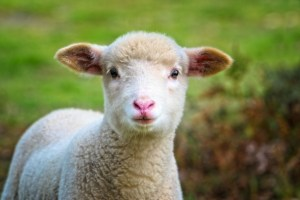 What is a baby sheep called