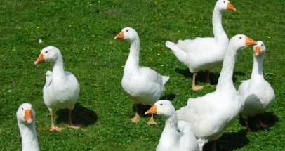 What is a Group of Geese Called
