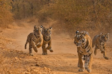what is a group of tigers called
