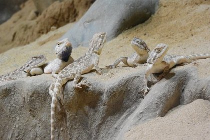 What is a group of lizard called