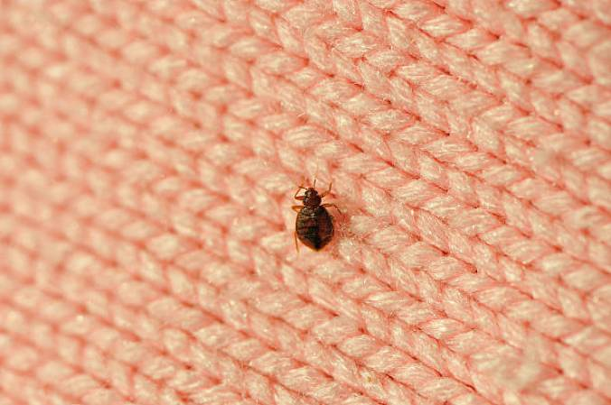 Carpet Bugs That Look Like Bed Bugs