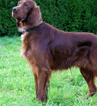 Which dog breed is best for family   Irish setter