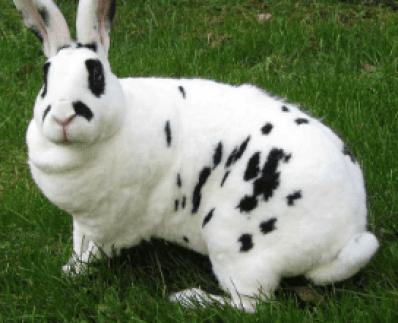 Best Rabbit Breeds for Pets