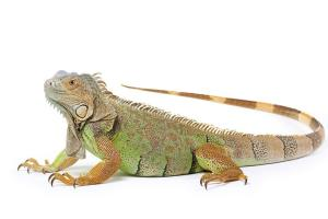 Iguana as Pets