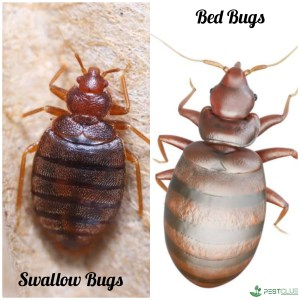 Swallow bugs vs bed bugs