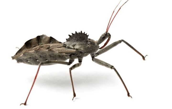 how to get rid of wheel bugs