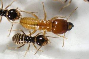 عن النمل الأبيض