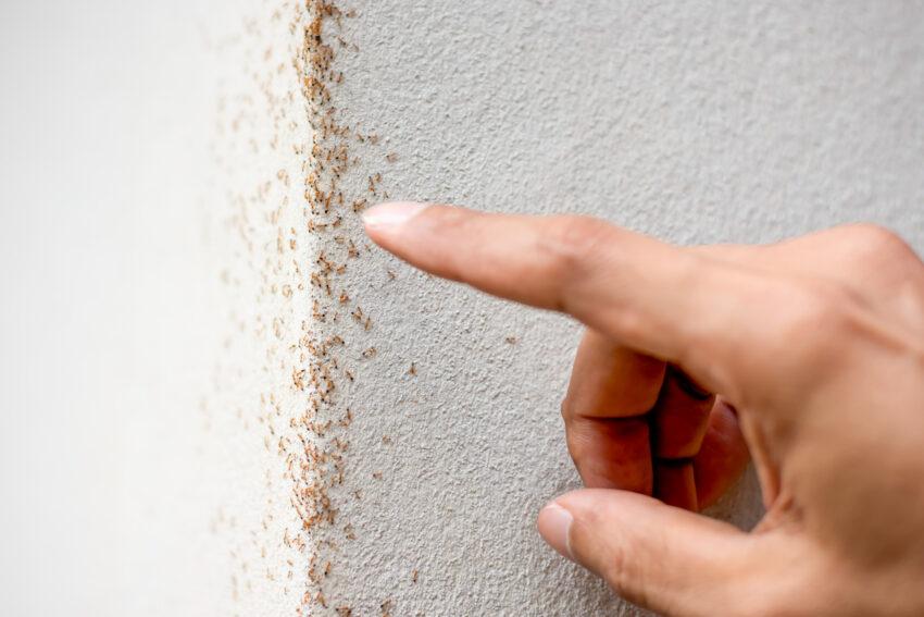 pst control ants,penrith pest control ants