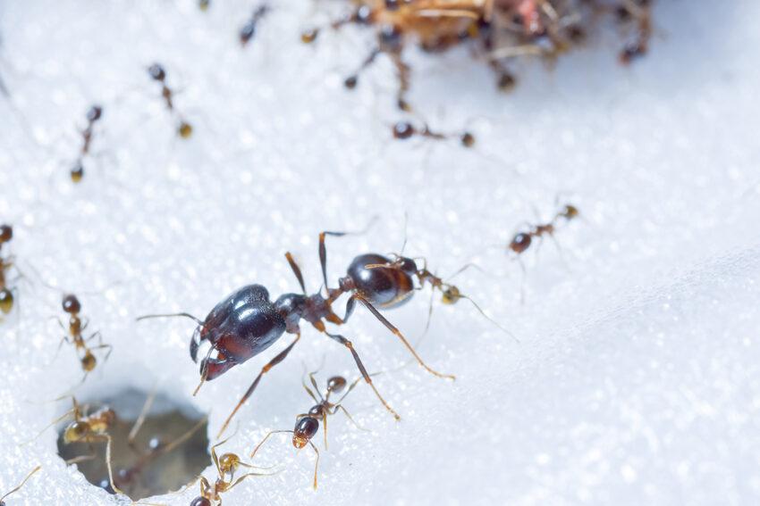 Pest Control - Ants.