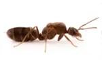 argentine-ant-pest-control