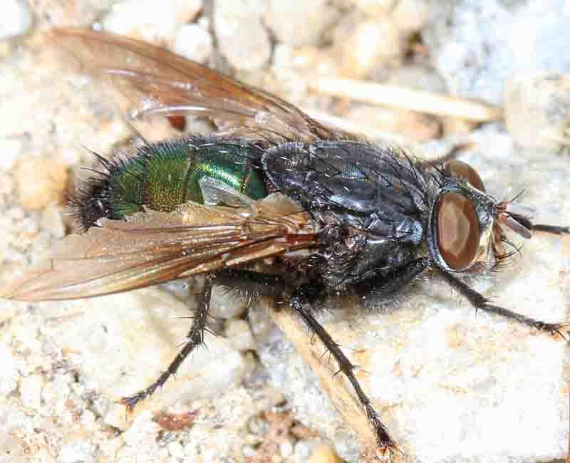 fly-pest-control-sydney
