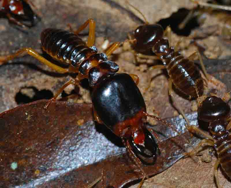 termites-pest-control-sydney