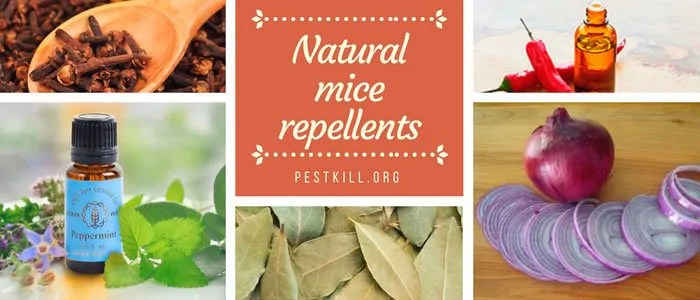 Infographic: 5 natural mice repellents