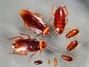 American roaches