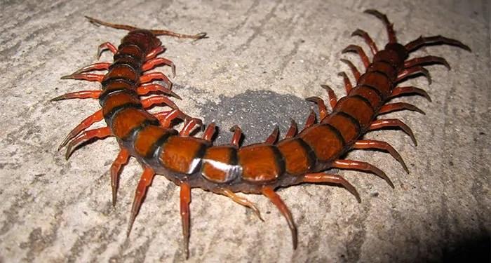 Waterfall amphibious centipede