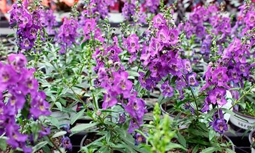 Angelonias deer repellent plants
