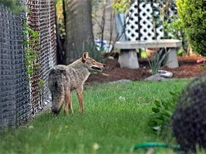 Fence to keep coyotes out