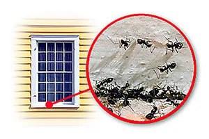 Ants under window