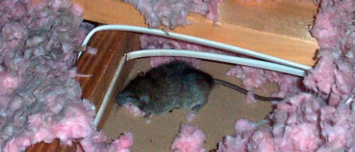 Mouse in attic insulation