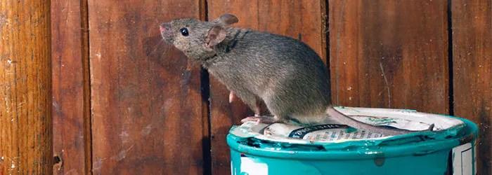 Rats bait