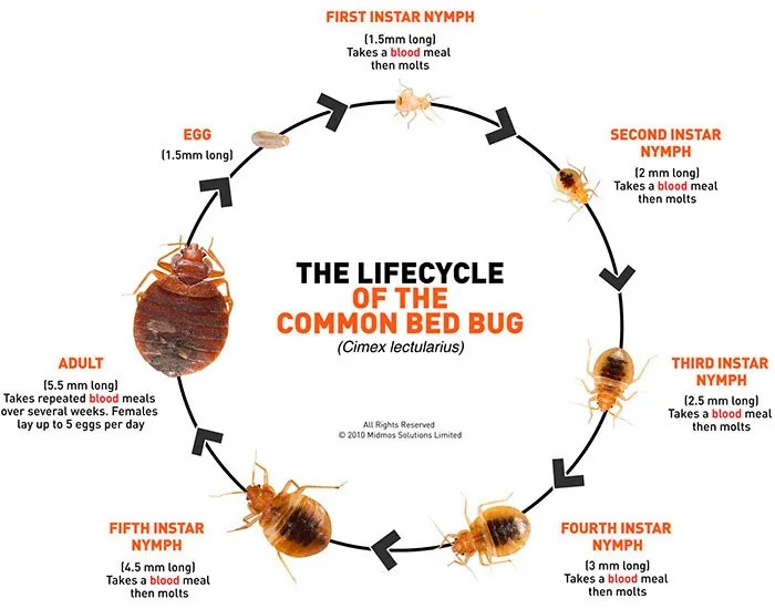 Discover Basic Bed Bug Facts That Will Help You Win Your War On Bed Bugs