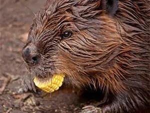 Beaver with bait