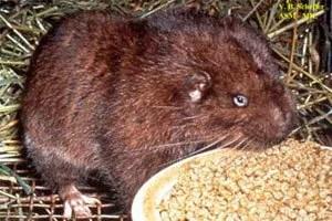 Beaver baiting