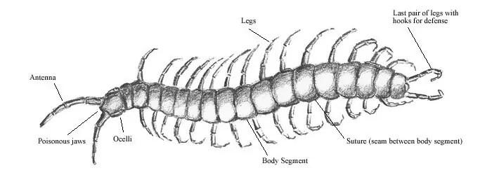 Centipede anatomy