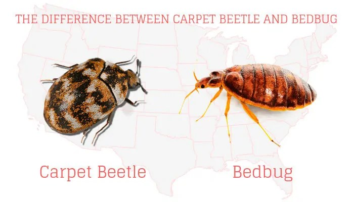 Cerpet beetle vs Bedbug Infographic