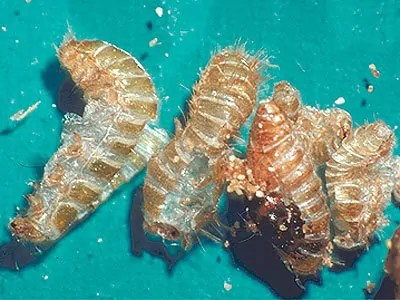 Carpet beetles larvaes