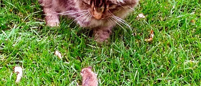 Cat and vole