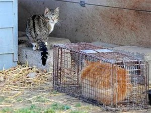 How to catch stray cats
