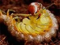 Centipede eggs