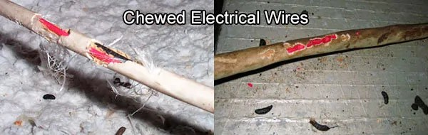 Chewed electrical wires