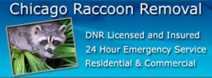 Chicago Raccoon Removal