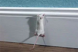 Mouse climbing up