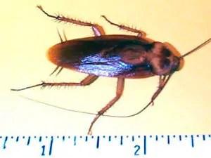 Cockroache size