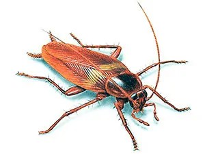 Image result for pics of roaches