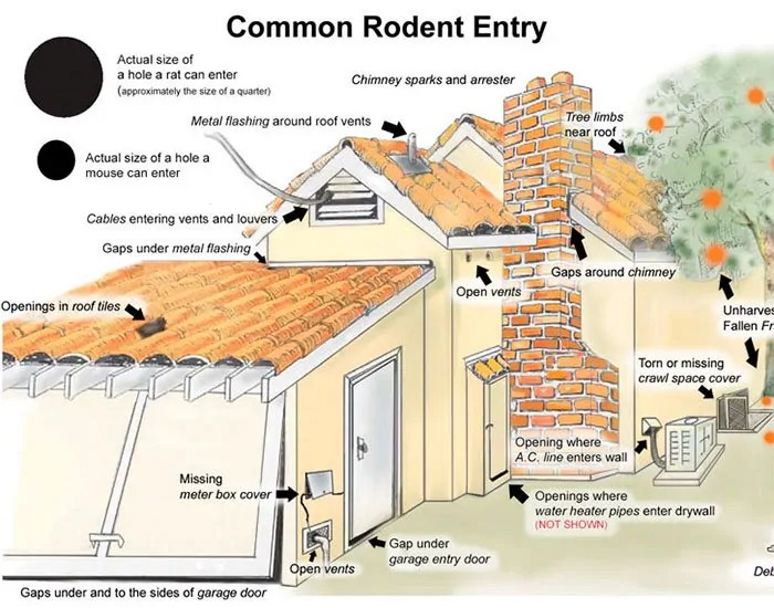 Common rodent entry