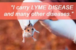 Mouse is carry Lyme Disease