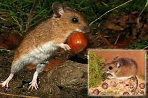 Deer mice food