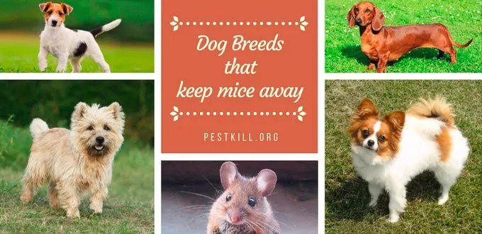 Infographic: Dog Breeds that keep mice away