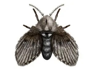 What are drain flies