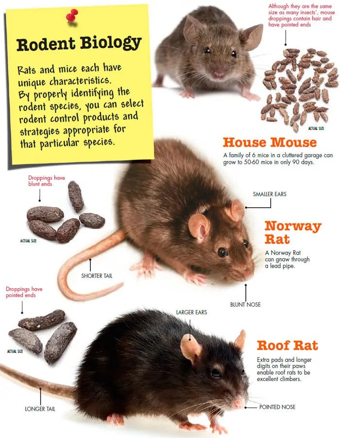 Mice and rats droppings