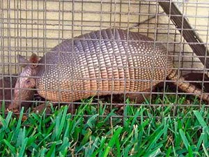 Easily trap armadillos