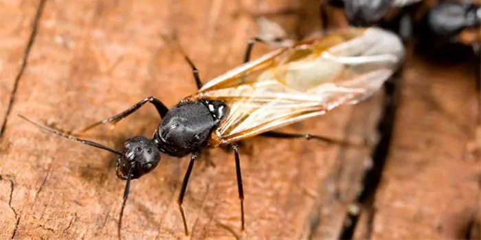 Flying Ant Picture