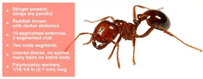 FIRE ANTS FACTS