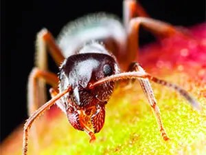 Pharaon ant food